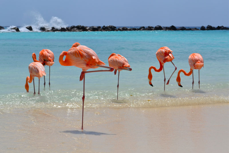Flamingos at flamingos on Renaissance island, Aruba. Check out the top 8 things to do in Aruba as an active couple! This paradise island offers a huge number of exciting activities to make your dream holiday adventurous as well as relaxing.