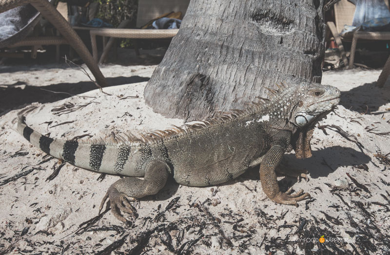 Iguana. Besides the famous pink flamingos on Flamingo beach, the Renaissance private island in Aruba has a lot more to offer. Find out what are the 5 other reasons why you need to visit this paradise.